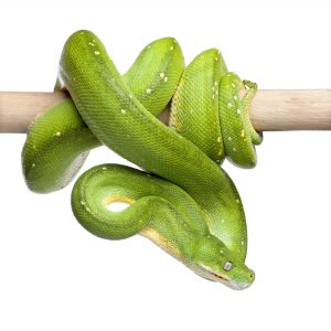 green tree python looking down - Morelia viridis (5 years old) in front of a white background